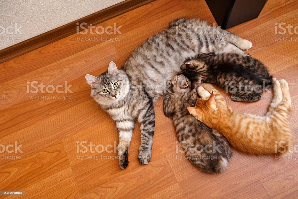 Bobtail cat and kittens. stock photo