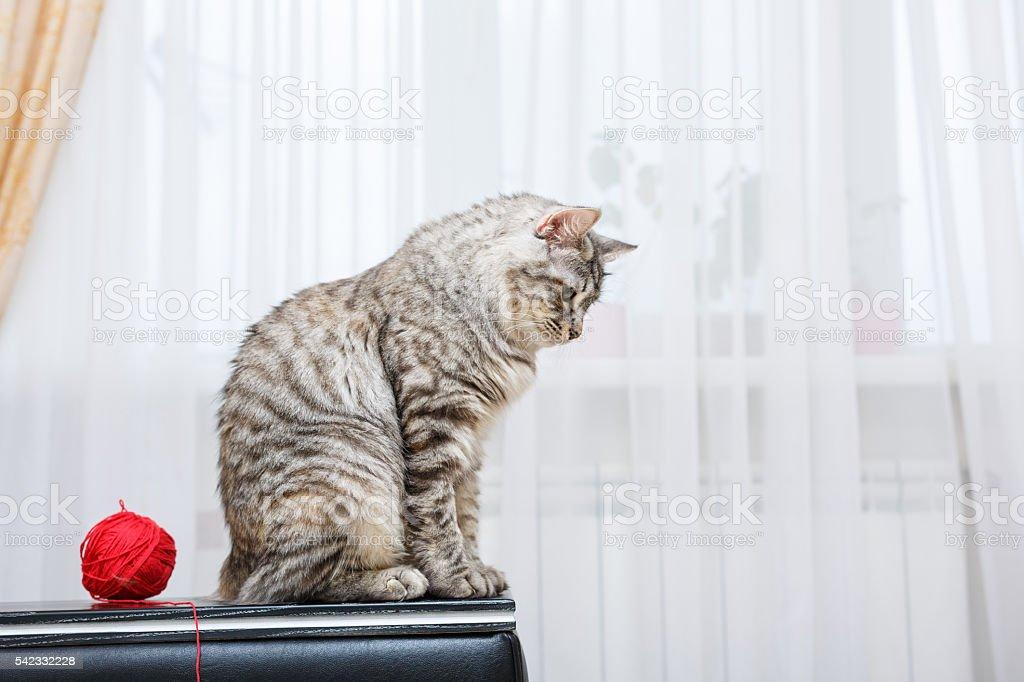 Bobtail cat sits. stock photo