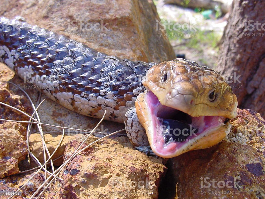 Bobtail goanna stock photo