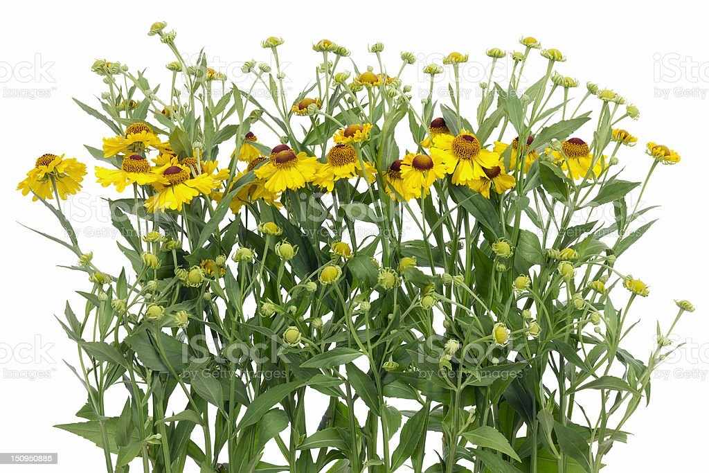 Boder from yellow  'Coreopsis' flowers isolated stock photo