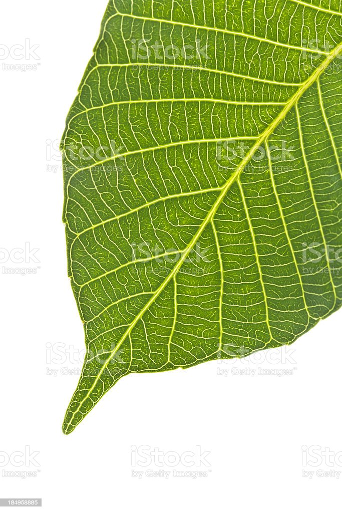 Bodhi tree leaf stock photo