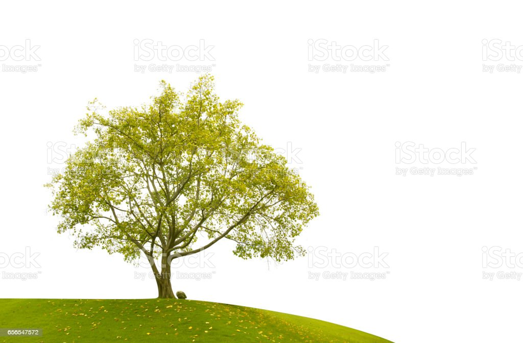 Bodhi Tree leaves isolated stock photo