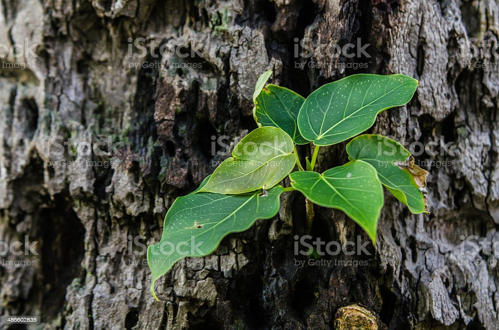 Bodhi tree stock photo