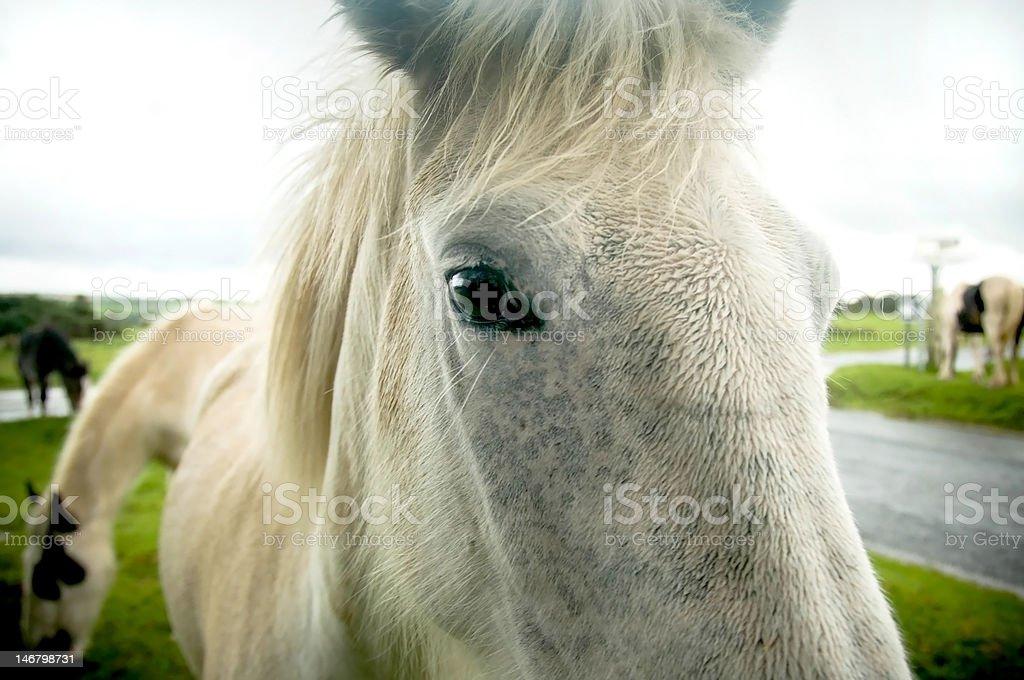Bodmin Ponies stock photo