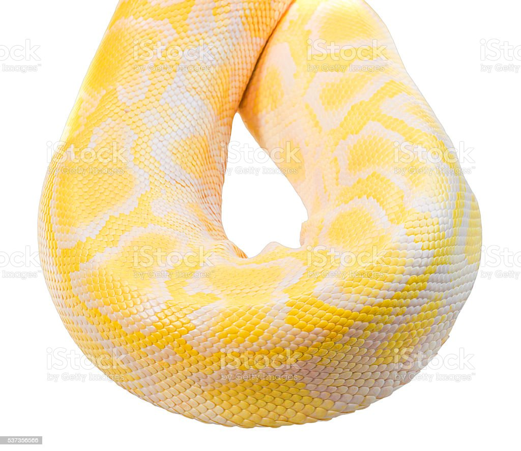 Body of Gold Python,Albino snake on white background stock photo