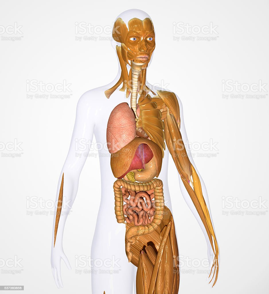 Body Organs face hand leg muscles stock photo