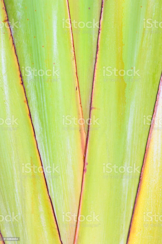 body pattern of traveller's palm stock photo
