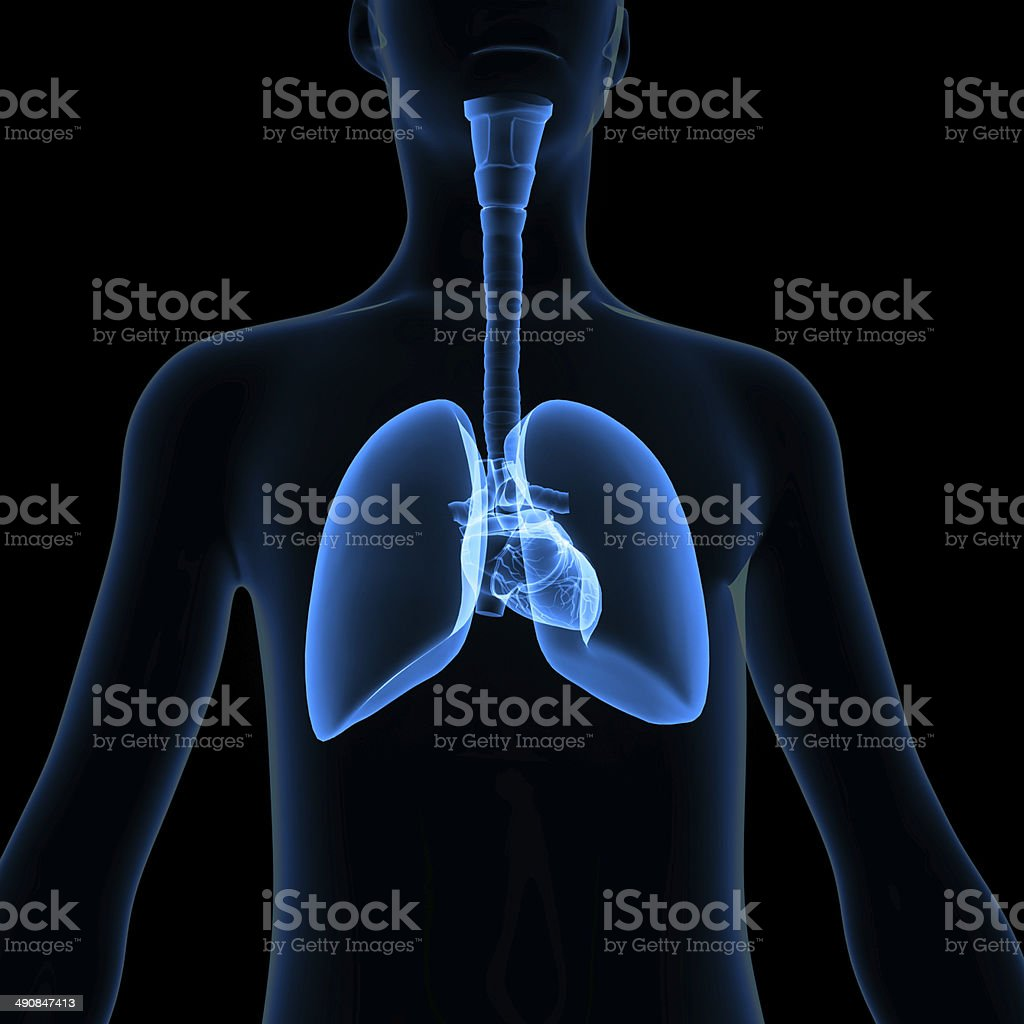 Body with lungs stock photo