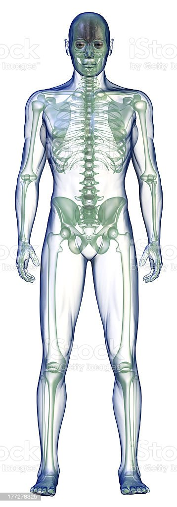 body x-ray front on white royalty-free stock photo