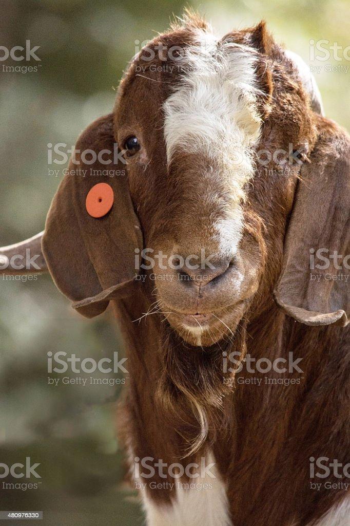 Boer Buck head stock photo