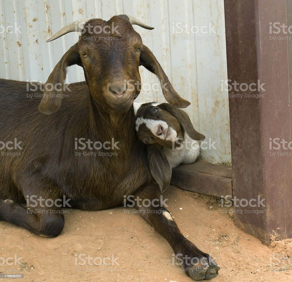 Boer Goat and Her Kid stock photo