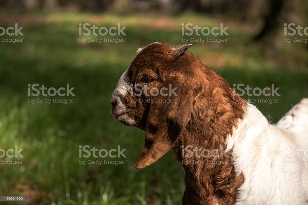Boer goat kid in a pasture stock photo