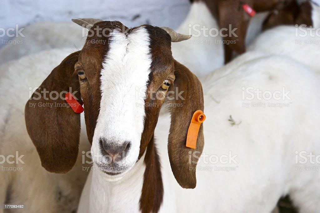 Boer Goat stock photo