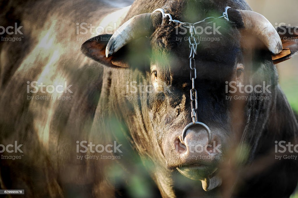 Boeuf In its meadows, Bazas, France stock photo