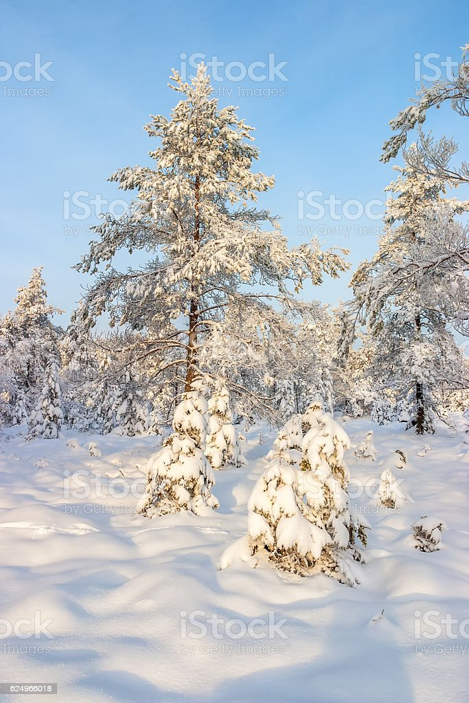Bog landscape with snow in winter stock photo
