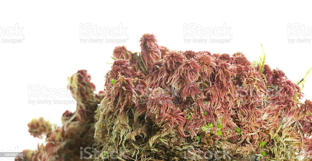 Bog moss, Sphagnum on white background stock photo