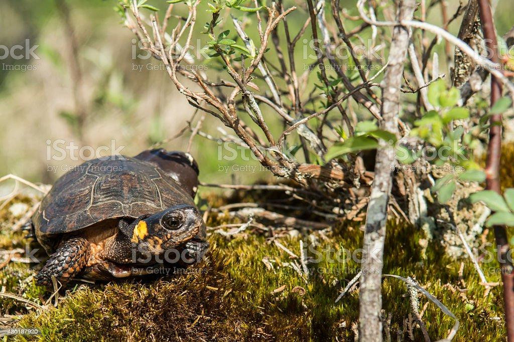 Bog Turtle stock photo