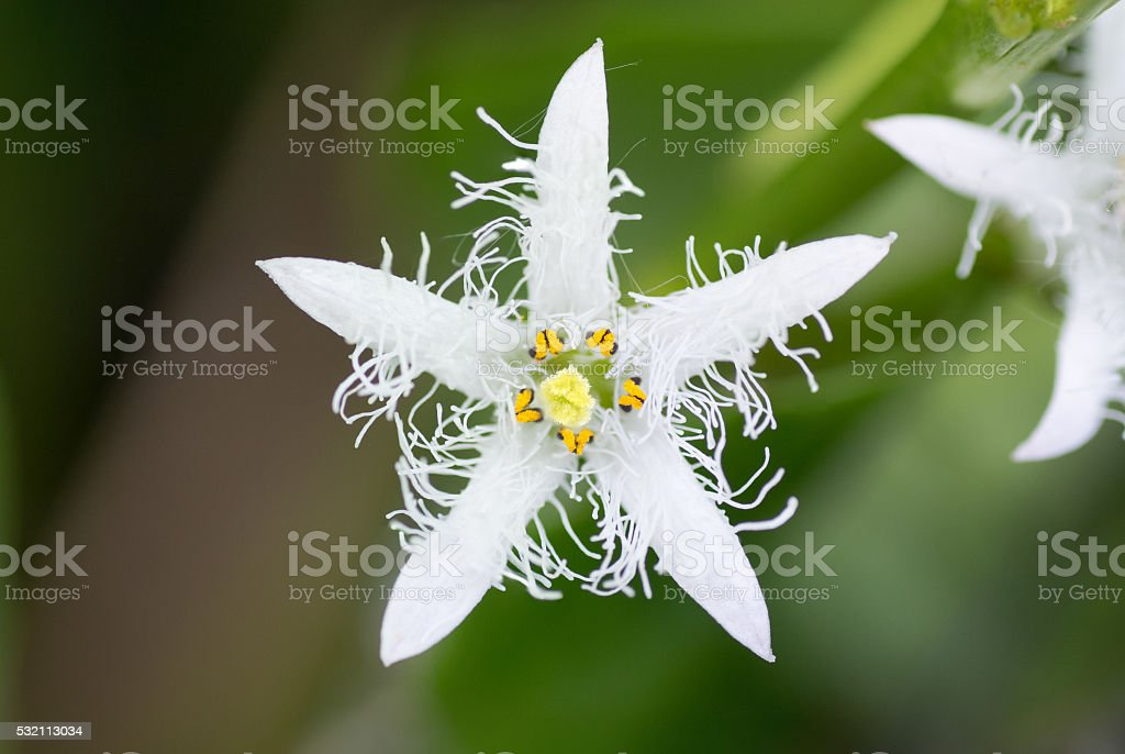 Bogbean (Menyanthes trifoliata) flower stock photo