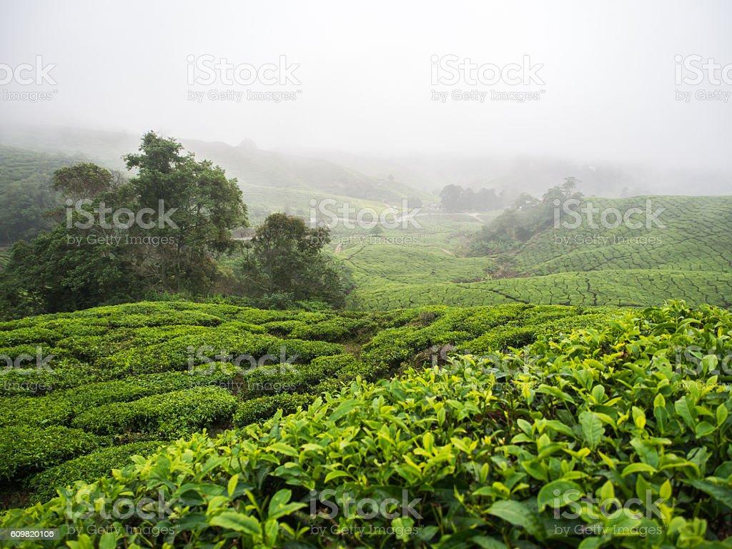 Boh Tea plantation in Cameron highlands stock photo
