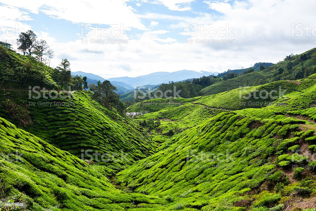 Boh Valley and tea plantation stock photo