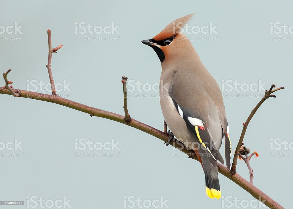 Bohemian Waxwing (Bombycilla garrulus) royalty-free stock photo