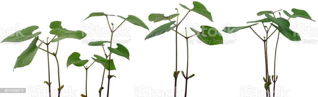 Bohnen Pflanzen Panorama stock photo