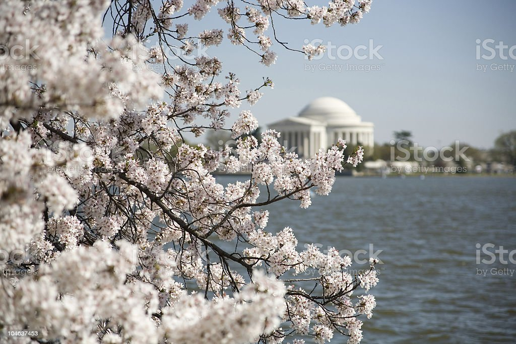 Bold Cherry Blossoms with the Jefferson Memorial royalty-free stock photo