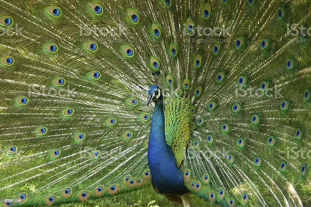 Bold Peacock stock photo