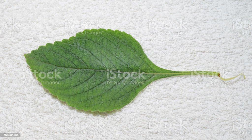Boldo leaf from a plant named Boldo da Terra stock photo