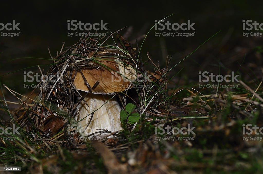 bolete in moss and needles royalty-free stock photo