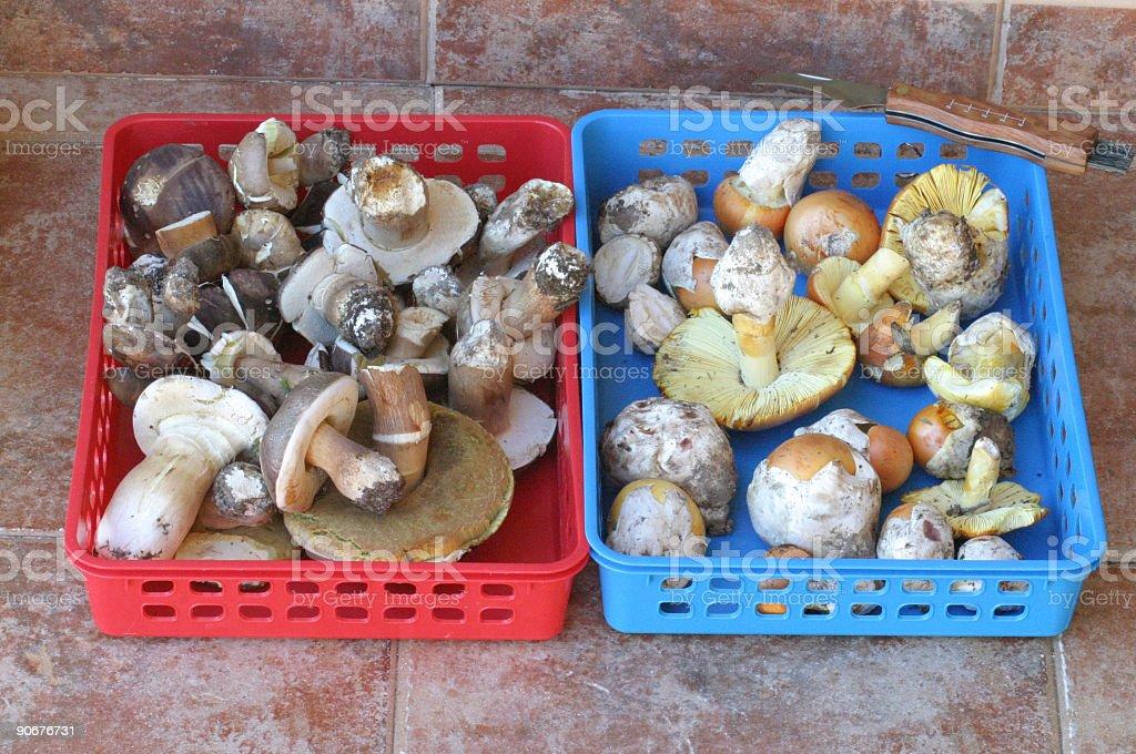 Boletus aereus and Amanita caesarea stock photo