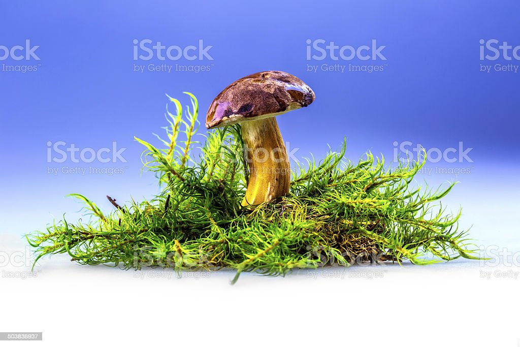 Boletus badius mushroom in the moss. stock photo