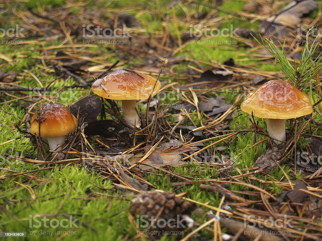 Boletus edulis in the autumn forest royalty-free stock photo