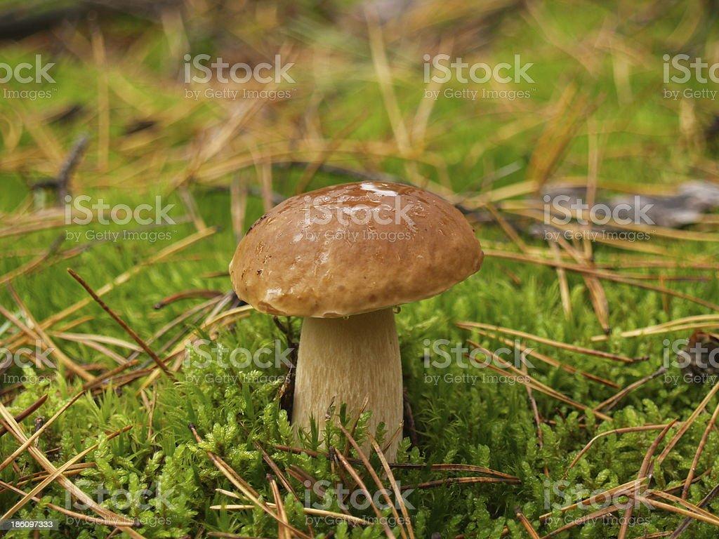 Boletus edulis in the autumn forest royalty-free stock photo