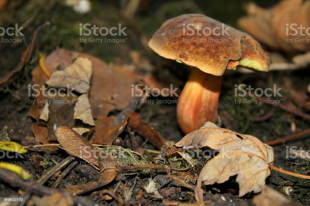 Boletus edulis mushroom, found by trees, west yorkshire, uk stock photo