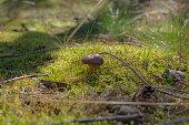 boletus in the wild forest -  Boletus edulis