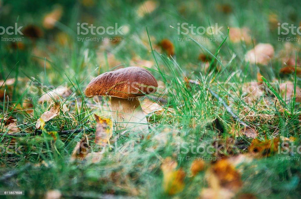 Boletus mushroom porcini growing in forest grass стоковое фото