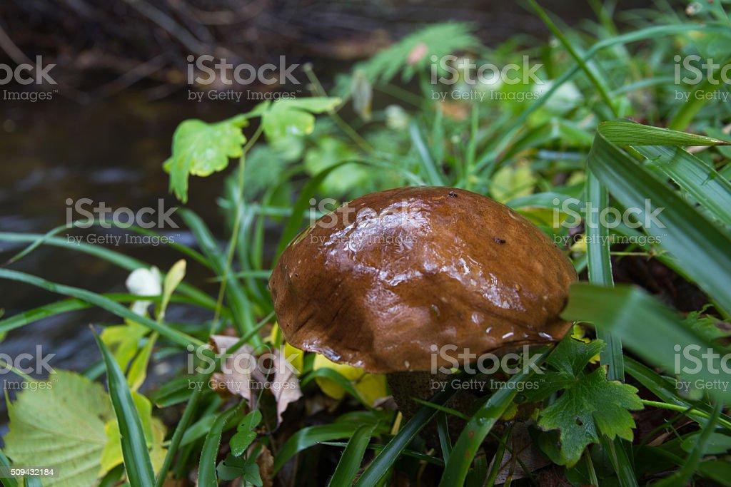 Boletus mushroom Suillus - Hongo Boletus Suillus stock photo