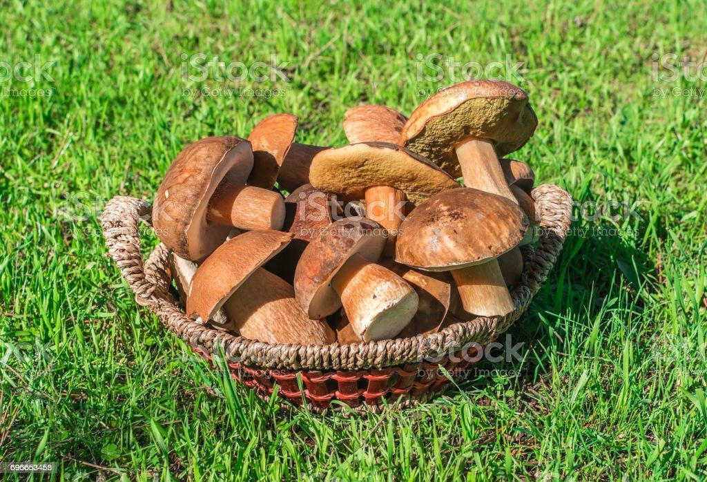 Boletus mushrooms in basket stock photo
