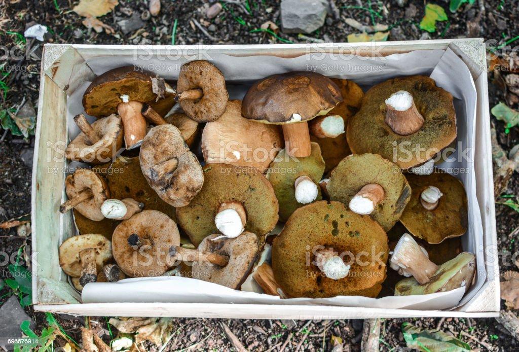Boletus mushrooms in box stock photo