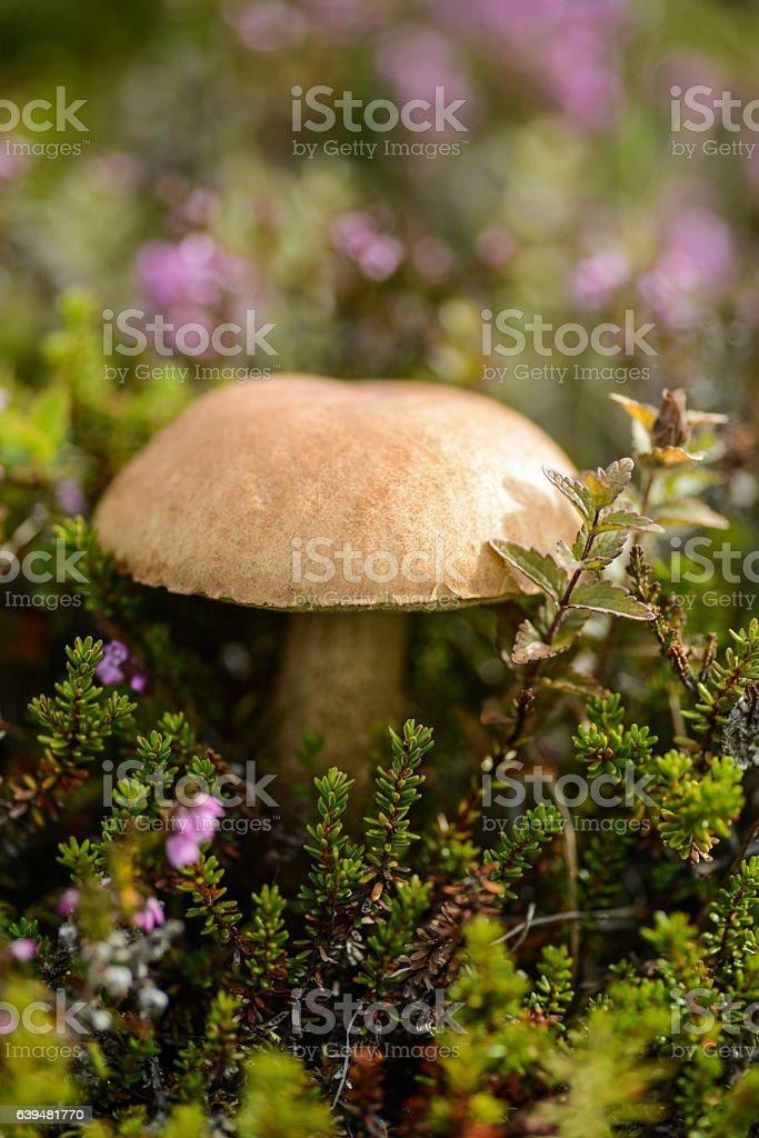 boletus mushrooms in pagan stock photo