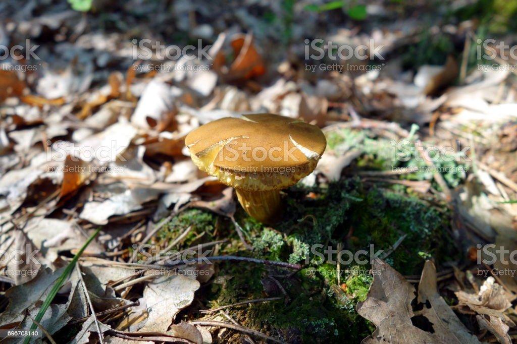 Boletus subtomentosus mushroom stock photo