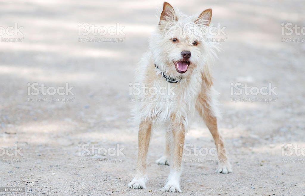 Bolognese dog stock photo