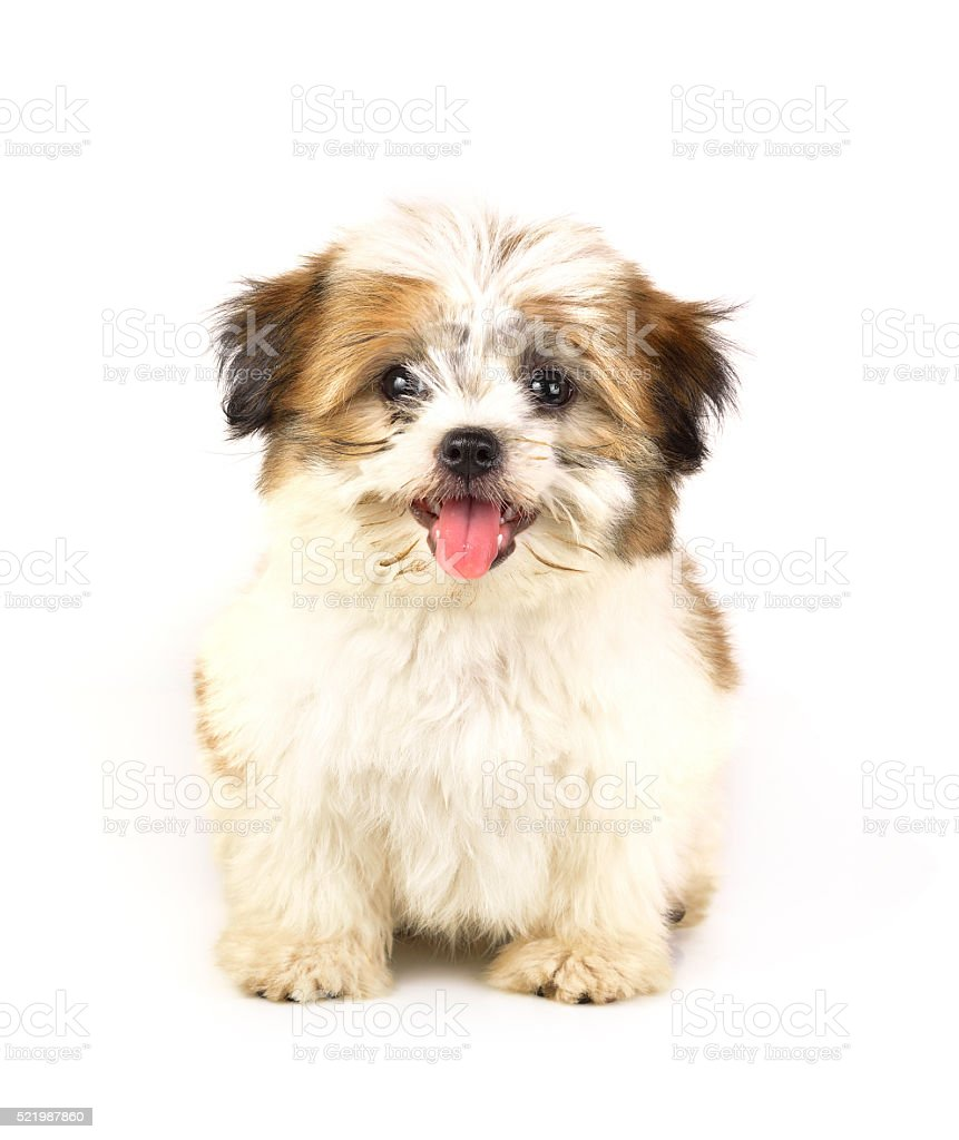 Bolognese puppy, 2 months old, white background stock photo