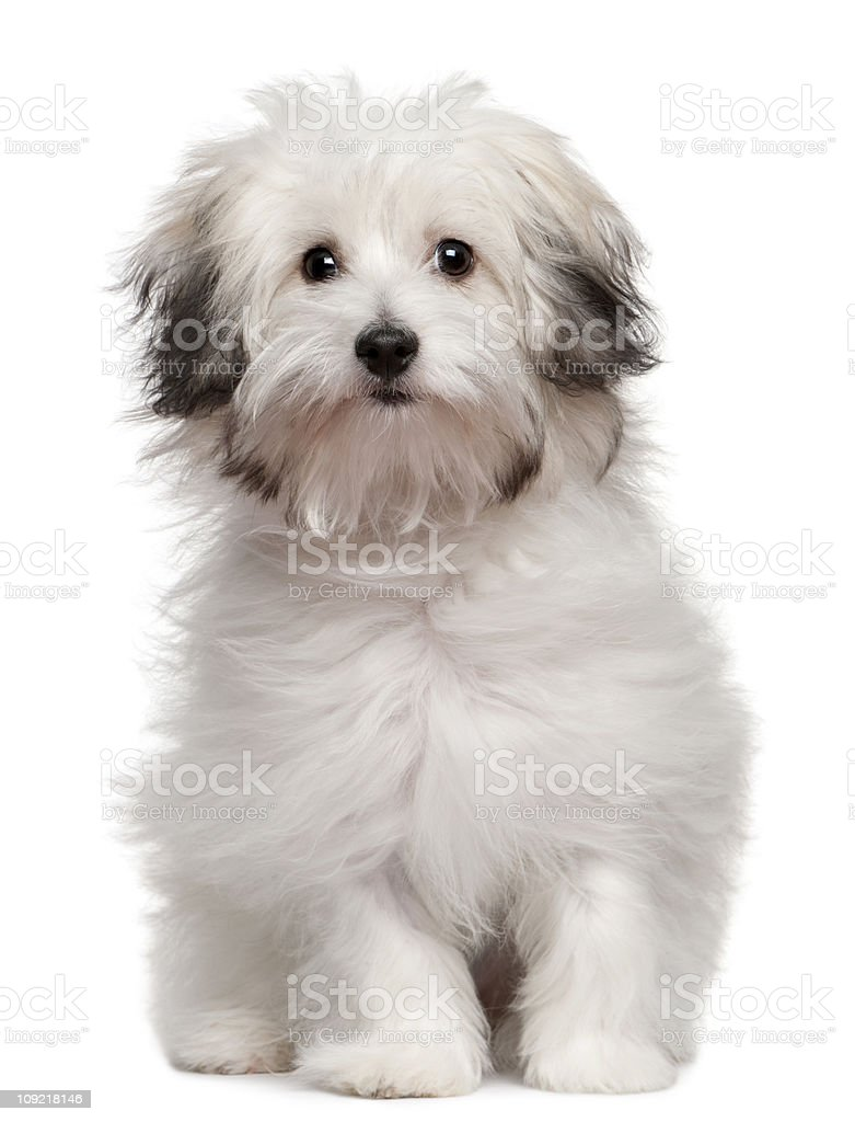 Bolognese puppy, 6 months old, sitting, white background. stock photo