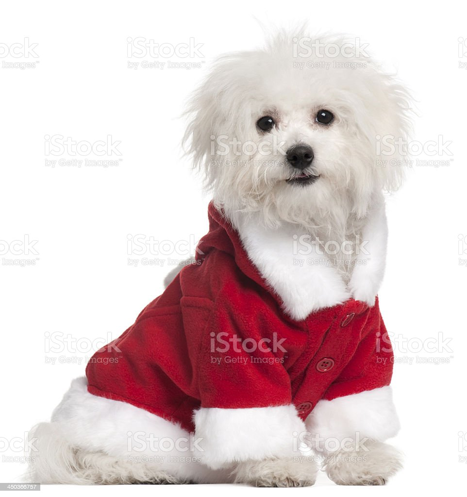 Bolognese puppy in Santa outfit, sitting, isolated on white stock photo