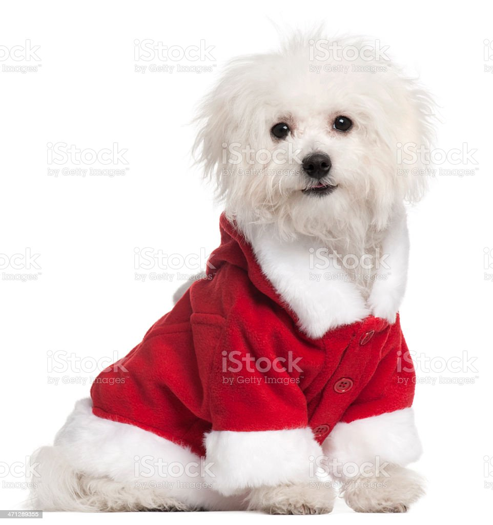 Bolognese puppy in Santa outfit, sitting, white background. stock photo