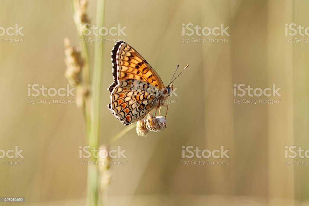 Boloria selene on yellow dry grass stock photo