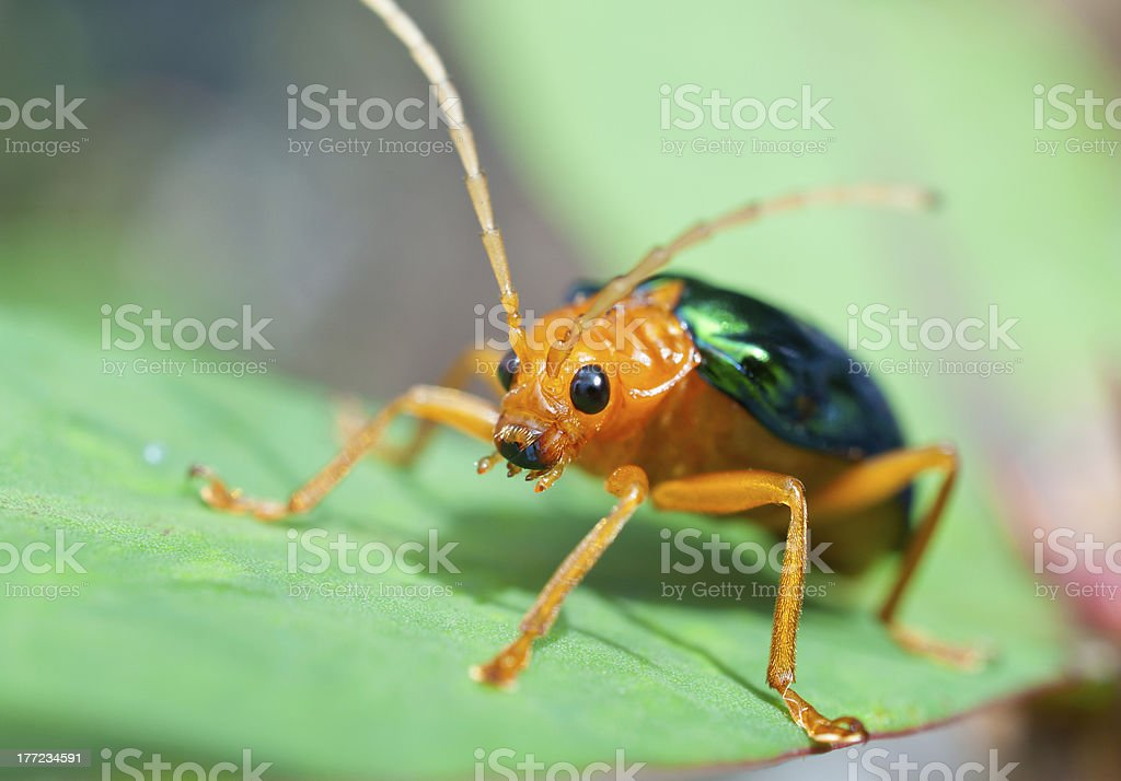 Bombardier Beetle (brachinus alternans) stock photo