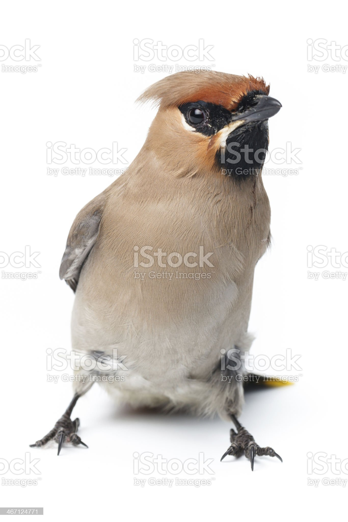 Bombycilla garrulus, Waxwing. royalty-free stock photo